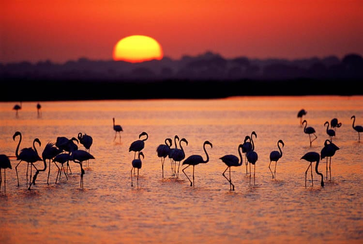 Pink Flamingos, Doñana National Park